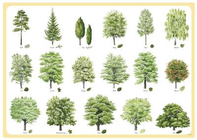 svenska träd blad